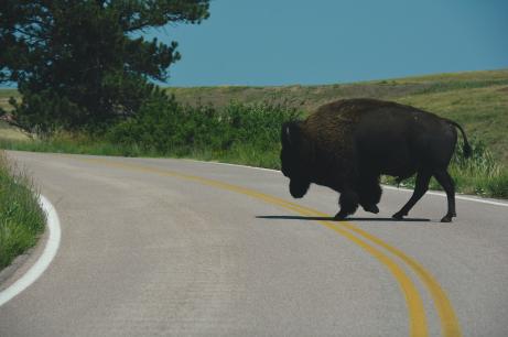Bison at Wind Cave National Park