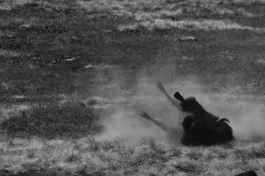 Bison taking a dust bath at Wind Cave National Park