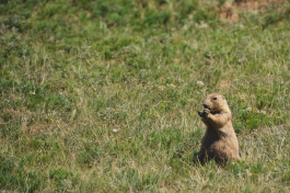 Prairie dog at Wind Cave National Park