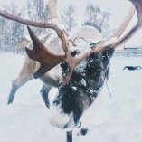 Taken at the exact moment this reindeer realized my phone wasn't lichen/food